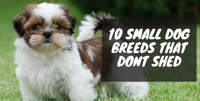 10 Best Small Dog Breeds That Don't Shed - Best Pets Supplies